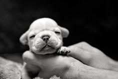 Sleeping tiny Frenchie