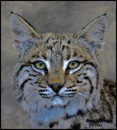 bobcat eyes - Google Search
