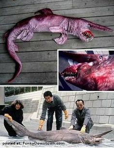 "The Goblin Shark (Mitsukurina owstoni) is a rare, poorly understood species of deep-sea shark. Sometimes called a ""living fossil"", it is the only extant representative of the family Mitsukurinidae, a lineage some 125 million years old. This pink-skinned animal has a distinctive profile with an elongated, flattened snout, and highly protrusible jaws containing prominent nail-like teeth. It is usually between 3 and 4 m (10 and 13 ft) long when mature, though it can grow considerably larger..."