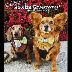 Didn't win our last #giveaway ? Don't fret we are kicking off another giveaway for #Easter   To enter visit our #pawsome partners @stewieplusrupert for directions. Contest ends on the 19th!  Ready set go!  #k9swag #bowtie #easter #sundaysbest #easterbowtie #easterbowties #giveaway #free #win #winnerwinner #winnerwinnerchickendinner #dogbowtie #dogbowties #pawsome #bowtieswag #pomeranian #lowriders #daschund #instadog #contest #igcontest #pickme #followus #showoff #pastel #pastels…