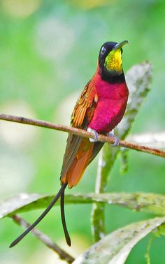 The Crimson Topaz Hummingbird (Topaza pella) is found in S.A. At 18 cm (7.5 in) and about 13 grams (0.5 oz), 2nd largest species of hummingbird after the Giant Hummingbird.
