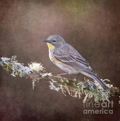 Yellow-rumped Warbler - photo by Angie Vogel