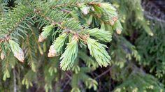 iloitse - hyvä oloa, positiivisuutta ja arkienergiaa * Positivity and energetic everyday life: Spruce shoots - those little lovelies! Try some easy recipes!