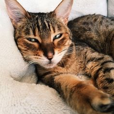 Jinx Cat | Pawshake