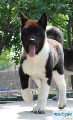 Japanese American Akita puppy