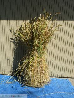 growing wheat in your backyard garden, along with how to thresh, winnow and store the grain