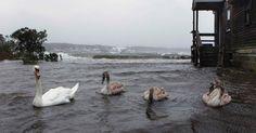 29.out.2012 - Cisnes nadam em quintal alagado em Southampton, nos Estados Unidos. As cidades da costa leste do país já sofrem com chuvas e ventos fortes em razão da aproximação do furacão Sandy. O fenômeno pode afetar cerca de 60 milhões de pessoas, afirmou a empresa United States National Grid, que fornece energia aos Estados Unidos Lucas Jackson/Reuters