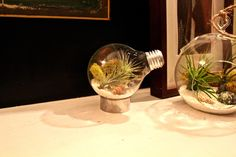 New terrariums coming soon: Light bulb air plant terrariums. #lightbulb #terrariums
