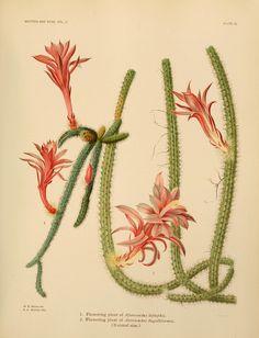 Aporocactus species. v.2 - The Cactaceae : - Biodiversity Heritage Library