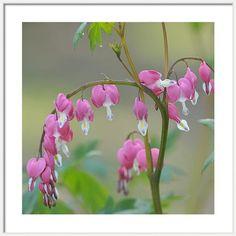 Framed Print featuring the photograph Pink Blooms Of Dicentra by Jenny Rainbow Framed Artwork, Framed Prints, Wall Art, Bleeding Heart Flower, Frame Shop, Art Techniques, Fine Art Photography, Home Art, Fine Art America
