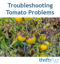 This is a guide about troubleshooting tomato problems. If your tomato harvest is…