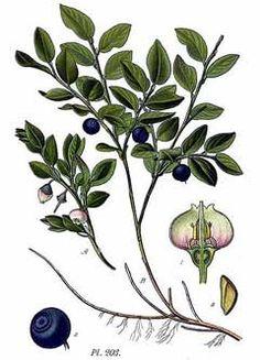 Vaccinium myrtillus (V. vitisdaea) - Bilberry and Cowberry