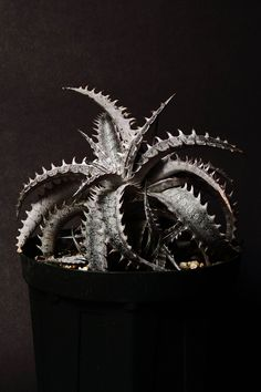 Lots of super cool (plant) photos, on this site. Dyckia  'Gray Ops' × 'White Shark'/2014