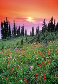 Wild Flowers Inspiration : Alpine wildflower meadow at sunset, Mount Revelstoke National Park, British Columbia, Canada All Nature, Amazing Nature, Wonderful Places, Beautiful Places, Beautiful Flowers, Belleza Natural, Canada Travel, Pacific Northwest, British Columbia