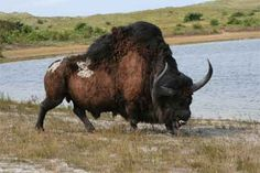 Steppe Wisent Bison priscus extinct | Steppe Wisent - pdfcast.net