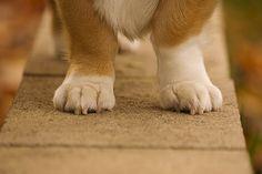Pembroke Welsh Corgi - Alert and Affectionate Corgi Gif, Corgi Funny, I Love Dogs, Cute Dogs, Corgi Breeds, Corgi Facts, Pembroke Welsh Corgi Puppies, Toy Fox Terriers, Paws And Claws