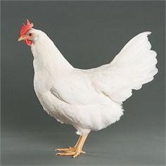 White Leghorn from My Pet Chicken Foghorn Leghorn…this bird has a good reputation!
