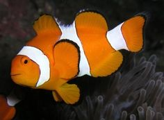 Finding Nemo, the iconic fish family film, inspired a growing love for clownfish – and understandably so. They are lively and bright companions, and though they don't tell jokes (as even Nemo's dad will testify in the movie) or tie balloons or honk their noses, they are ideal beginner fish.