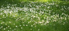 Grass Roots Gardening - Pumpkin Beth Meadow Flowers, Green Flowers, Green Leaves, White Flowers, Daffodil Bulbs, Daffodil Flower, Daffodils, Types Of Lawn, Types Of Grass