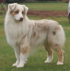 White And Brown Australian Shepherd Australian Shepherds o...