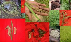 Medicinal Rice based Tribal Medicines for Diabetes Complications and Metabolic Disorders (TH Group-715) from Pankaj Oudhia's Medicinal Plant Database. (Encyclopedia of Tribal Medicines by Pankaj Oudhia)