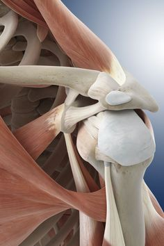 What You Should Know About the Musculoskeletal System Shoulder anatomy - Springer Medizin/Science Photo Library/Getty Images Human Body Anatomy, Muscle Anatomy, Gross Anatomy, Ligament Tear, Ligament Injury, Anatomy For Artists, Anatomy Art, Shoulder Anatomy, Types Of Surgery