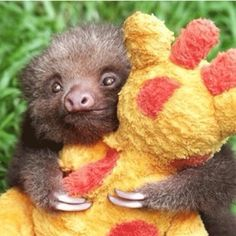 Funny pictures about Baby sloth hugging his favorite stuffed animal. Oh, and cool pics about Baby sloth hugging his favorite stuffed animal. Also, Baby sloth hugging his favorite stuffed animal photos. The Animals, My Animal, Cute Baby Animals, Funny Animals, Wild Animals, Cutest Animals, Sloth Animal, Cute Baby Sloths, Exotic Animals