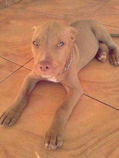 She is Beautiful. #Pitbull