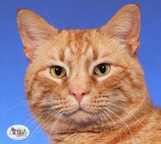 Meet Savior a Petfinder adoptable Domestic Short Hair Cat | Fredericksburg, VA | *** ORANGE- PERSONAL ASSISTANT *** This big beautiful boy was found as a stray and really wants a...