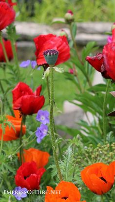 No matter what color Poppy you plant, they will remain bright while other flowers fade. Empress of Dirt shares 9 reasons to grow poppies in your garden this season. Beautiful Flowers, Different Flowers, Flower Garden, Creative Gardening, Poppy Garden, Growing Poppies, Plants, Poppy Seed Pods, Planting Flowers