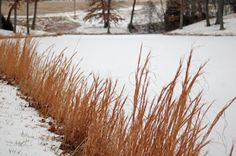 bluestem in winter - like it better than the blue in summer! also considering this for the front yard garden bed to incorporate winter interest.