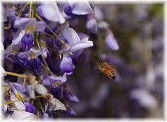 藤の花 蜜蜂 - Google 検索