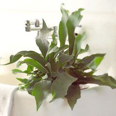 The 9 Top Ferns to Grow as Houseplants, by BHG - Pictured is a Staghorn Fern, which doesn't need soil to grow. Mount in on a wall or set it on a ledge. It's a spectacular fern that offers deep green, antler-like fronds. Name: Platycerium bifurcatum - Growing Conditions: Medium to bright light and high humidity - Size: To 6 feet tall and wide