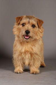 Image result for norfolk terrier Norfolk Terrier, Norwich Terrier, Animal Paintings, Cute Animals, Cairn Terriers, Pets, Image, Window, Friends