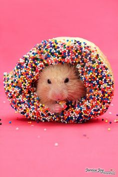 Hamster in a donut - awww! I hope they don't let him eat the whole thing though cuz he'll get hamster diabetes and die :(