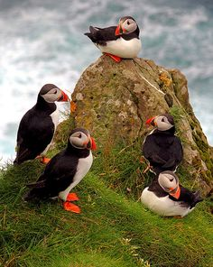 """ Puffins Mykines Faroe Islands on Flickr. Via Flickr: Photographer gtbow-Gene """