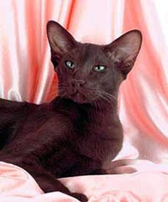 Siamese Cats, Cats And Kittens, Oriental Cat Breeds, Brown Cat, Havana Brown, Russian Blue, Domestic Cat, Colorful Pictures, Black Panther