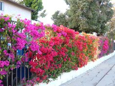 Gorgeous bougainvillea fence line. I have this very idea going along my fence. I just have to keep them alive through the freezes.