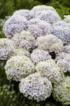 Hydrangea Everlasting® Ocean | Plants Nouveau