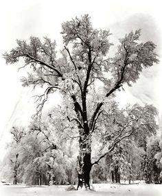 Oak Tree Snow Storm, Ansel Adams