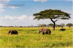African Elephant Big 5 Wildlife Photography Fine by RobsWildlife