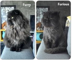 Persian Cat Haircut funny cat grooming long hair cut - Giving dog or cat grooming is not easy. This majestic, evil overload black cat, however, had one of the worst experience of his hair cut. Dog Grooming Tools, Cat Grooming, Cat Lion Cut, Cat Haircut, Haircut Funny, Long Haired Cats, Angry Cat, Tier Fotos, Funny Kittens