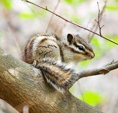 Siberian Chipmunk | Flickr - Photo Sharing!