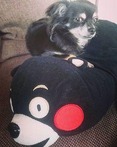 今日もくまモンにベッタリ #くまモン #チワワ #dog #ブラックタン #愛犬 #ペット