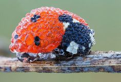 Ladybug Covered In Dew