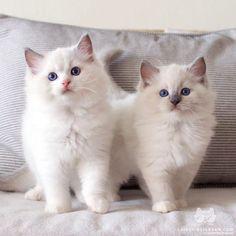 "catsofinstagram:From @playgroundragdolls: ""Pisuke and Water... | Fuck Yeah Felines! | Bloglovin'"
