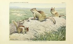 CALIFORNIA (OR BEECHEY) GROUND SQUIRRELS      ...