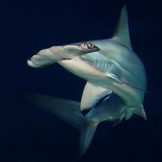 Hammerhead Shark - Awesome