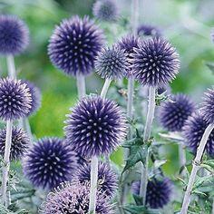 http://www.meingartenshop.de/index.php?/Sonstige-Stauden/Kugeldistel-Veitchs-Blue-1-pflanze