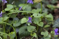 Sweet Violets--15 Edible Plants to Forage in Your Own Back Yard | And Here We Are... #foraging #wildfood #self-sufficiency